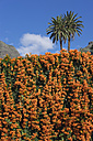 Spain, La Gomera, flamevine, Pyrostegia venusta, and Canary Island date palms - SIEF006951