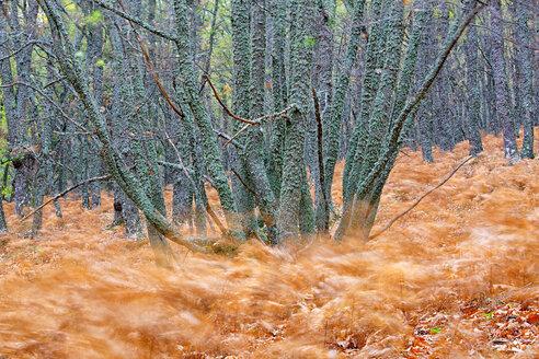 Spain, Avila, Autumn in the forest El Tiemblo, moving ferns - DSGF000876