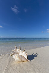 Seychelles, La Digue, Spider conch, Lambis lambis, mussel on the beach - FOF008429