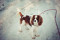 Cavalier King Charles Spaniel in winter - PUF000476