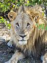 Namibia, Okaukuejo, Etosha Nationalpark, portrait of lion resting in the shadow - AMF004778