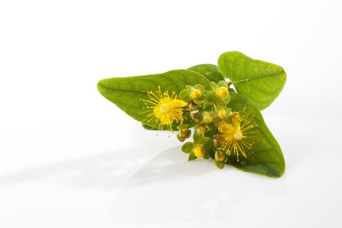 Perforate St John's-wort on white background - CSF027125