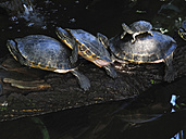 Row of three full-grown terrapins and young one on top of and old one - TMF000093
