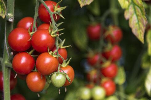 Tomato plant - CSTF000906