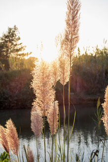 Reed on river at sunset - NDF000570