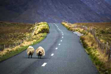 Ireland, Sheep standing on a country road in Connemara - GIOF000786