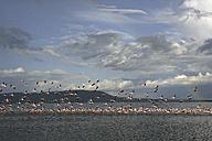 Kenya, Lake Nakuru National Park,  Lake Nakuru, flying lesser flamingos - DSGF000965
