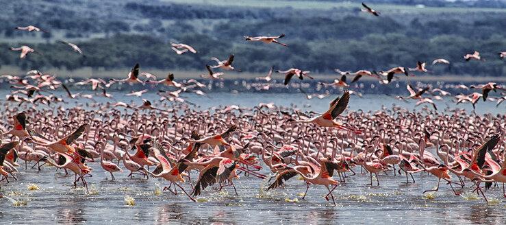 Kenya, Great Rift Valley, Lake Nakuru, lesser flamingos - DSGF000971