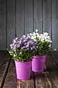 Two sorts of potted bellflowers - CSF027203