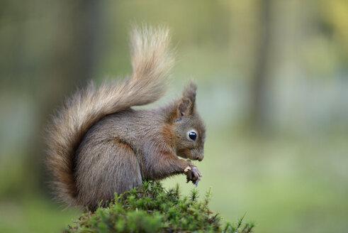 Eurasian red squirrel - MJOF001143