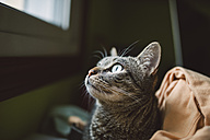 Portrait of tabby cat looking up - RAEF000908