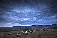 Rumania, Transylvania, South Carpathia, flock of sheep, dramatic sky - HAMF000165