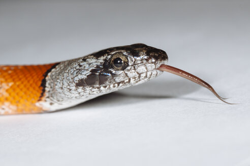Portrait of Gray-banded kingsnake sticking out tongue - ERLF000143
