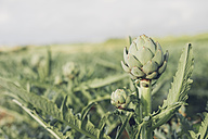 Close-up of an artichoke - MJF001809