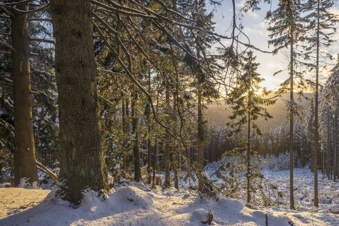 Germany, Harz National Park, forest in winter - PVCF000787