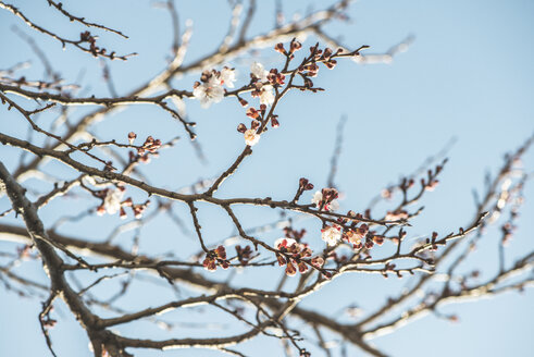 Bulgaria, twigs of blossoming apricot tree - DEGF000665