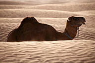 Tunisia, dromedary in the desert - DSGF001078