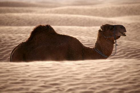 Tunisia, dromedary in the desert - DSGF001078