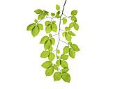 Branch of Beech tree, European Beech, Fagus sylvatica - RUEF001642