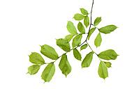 Elm, Ulmus minor, Ulmaceae, leaves against white background - RUEF001645
