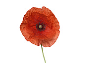 Red Poppy or Corn poppy, Papaver rhoeas, white background - RUEF001651
