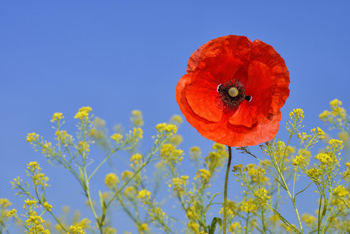 Papaver rhoeas, Common Poppy, Red Poppy, against clear blue sky - RUEF001657