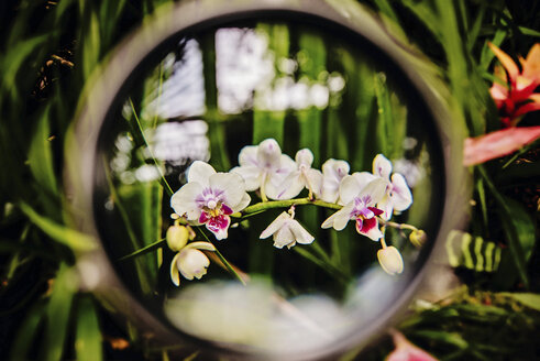 Orchid, Tracheophyta, Orchidaceae, Phalaenopsis, through a magnifier, close-up - LCF000006