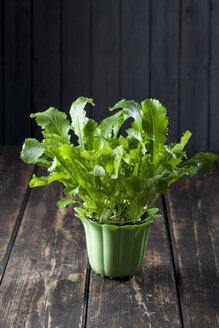 Flowerpot of wild turnip - CSF027277