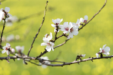 Blossoms of almond tree, close-up - CSTF001001