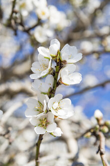 Blossoms of almond tree, close-up - CSTF001004