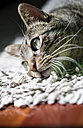 Portrait of tabby cat relaxing on a carpet at home - RAEF000937