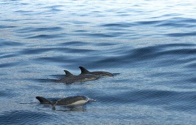 Madeira, delfins - MKFF000275