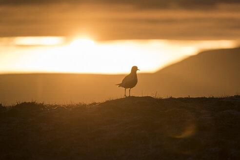 Iceland, golden plover - PAF001678