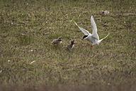 Iceland, stern feeding young birds - PAF001681
