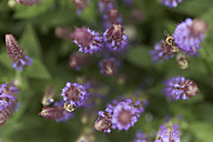 Two bees on lavender blossoms - SABF000048