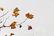 Autumn leaves flying in the wind - GWF004647