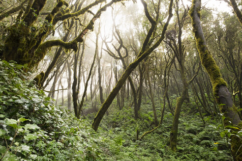 Spain, Canary Islands, La Gomera, Cloud forest, Laurel forest - SIEF006993