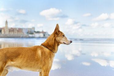 Spain, Gijon, dog standing on the beach watching something - MGOF001599