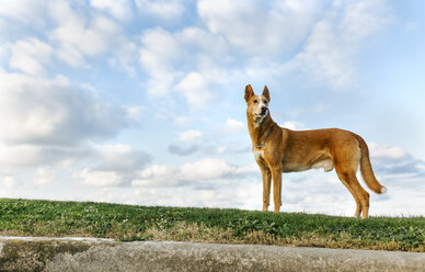 Dog standing on a meadow watching something - MGOF001614