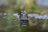 Portrait of Common frog in a pond - MJOF001153
