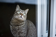 Portrait of tabby cat looking through window pane - RAEF000964