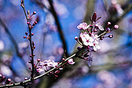 Cherry blossoms, close-up - NGF000315
