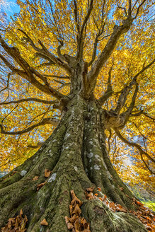 Italy, Marche, Tree in autumn, low angle view - LOMF000253