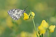 Marbled White, Melanargia galathea - RUEF001660
