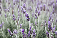 Blossoming lavender - ABZF000304