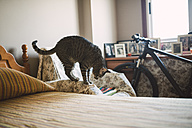 Tabby cat standing on armrest of a chair looking down - RAEF000969