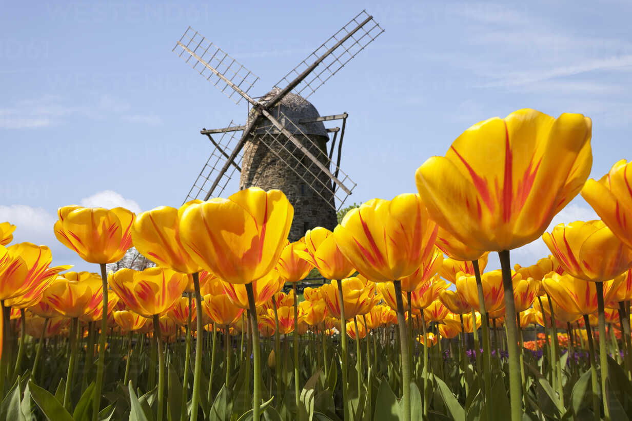 Traditional windmill and tulip field - KLRF000281 - Artmedia/Westend61