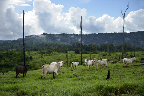 Brazil, Para, Amazon rainforest, Itaituba, slash and burn, cleared, cows on pastureland - FLKF000680