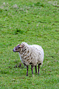 Sheep on a meadow - MHF000385
