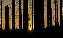 Germany, Saxony-Anhalt, Harz National Park, dead firs in the evening - PVCF000819